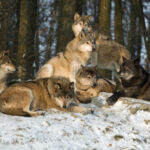 Wolves at Work